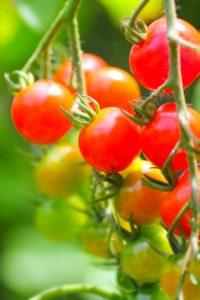 炭酸ガス発生装置 プチトマト